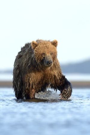 katmai: Grizzly Bear standing in water Stock Photo
