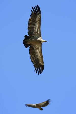 pyrenees: Griffon Vulture flying against sky and one in background