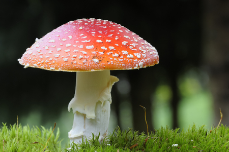 full grown: Close up from a Fly agaric  Stock Photo