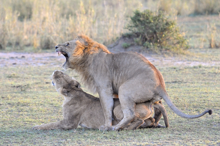 Lion couple mating
