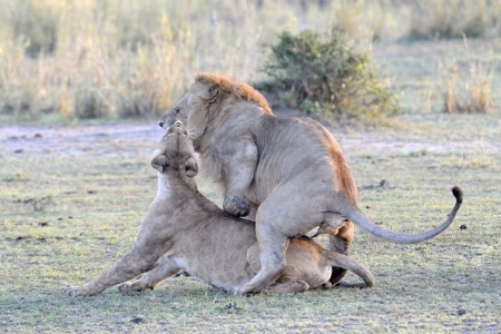 animal mating: Lion couple mating