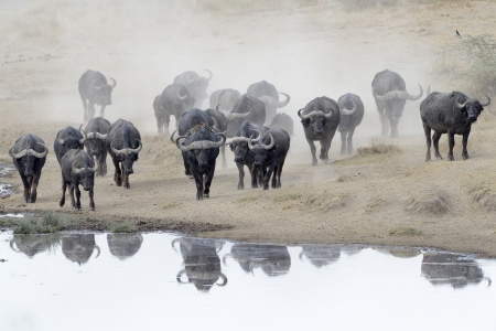 Buffalo herd going to drink  Stock Photo