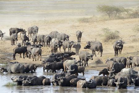 water buffalo: Buffalo herd going to drink  Stock Photo