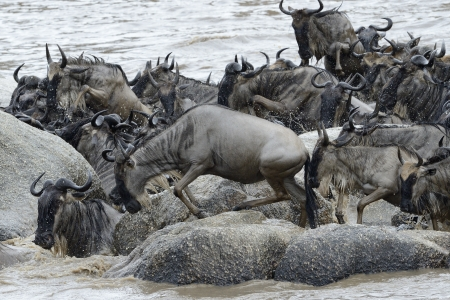 bovid: Wildebeests stucked on rocks in the Mara river while crossing