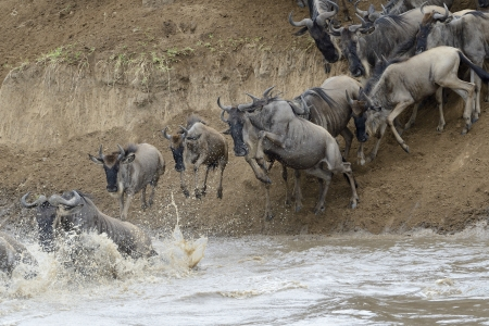 migration: Wildebeest jumping in the Mara river while crossing the river