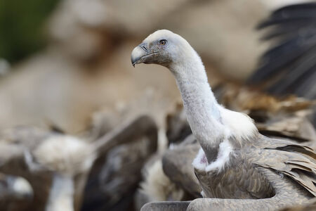 Griffon vulture portrait with others in background photo