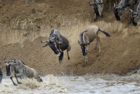 ungulates: Wildebeest jumping in the Mara river while crossing the river