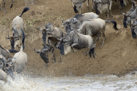 taurinus: Wildebeest jumping in the Mara river while crossing the river