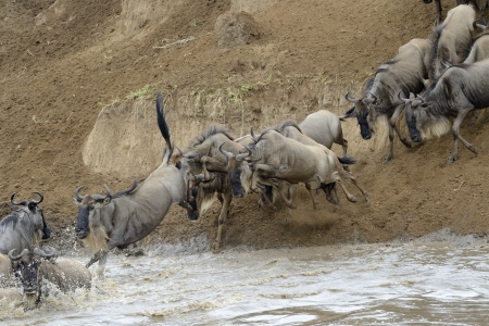 wiped out: Wildebeest jumping in the Mara river while crossing the river