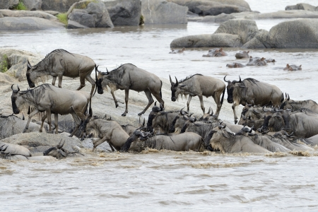 taurinus: Wildebeest coming out the river after crossing