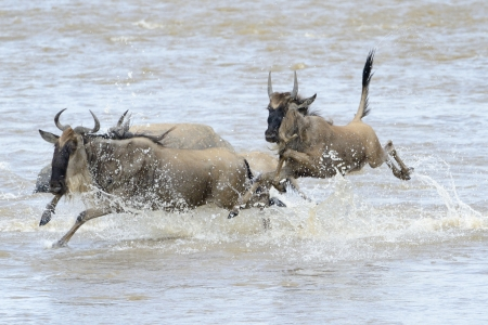 wiped out: Mother with young jumping in the Mara river while crossing