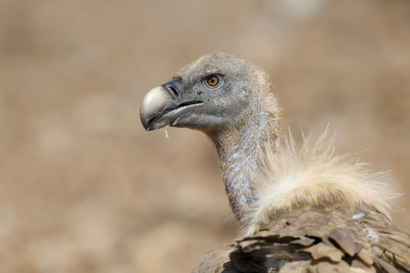 Portrait from a Griffon vulture  photo
