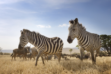 Two Zebra at the Ngorongoro crater in low angle view  photo