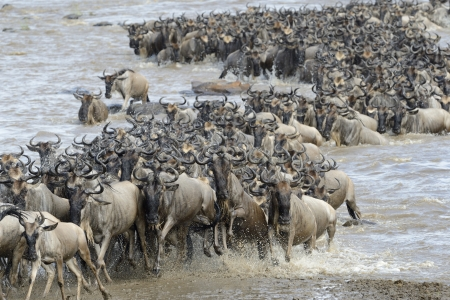 Wildebeest coming out the river after crossing photo