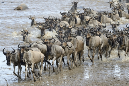 Wildebeest coming out of the river after crossing