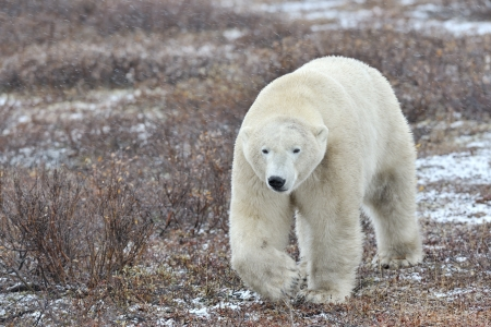 Polar bear walking on tundra during blizzard  photo