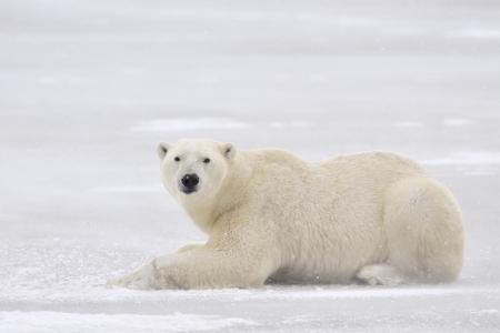 Polar bear lying on ice