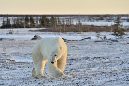 Polar bear walking on tundra  photo