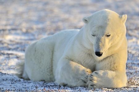 ly: Polar bear lying at tundra