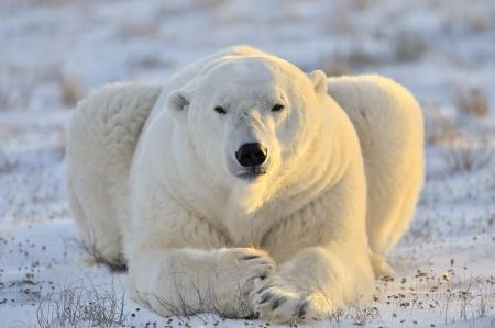 Polar bear lying at tundra