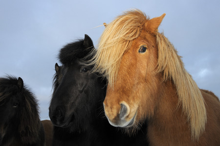Icelandic horse portrait  photo