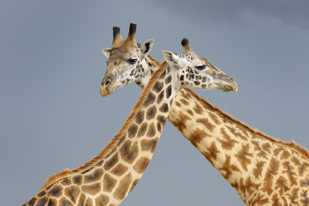 courtship: Male and female Giraffe during courtship with dark sky in background