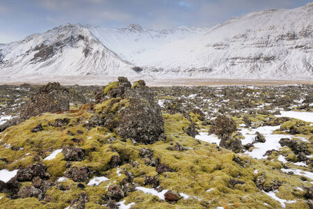 plantlife: Old lava overgrown with mosses in a winter landscape at Iceland