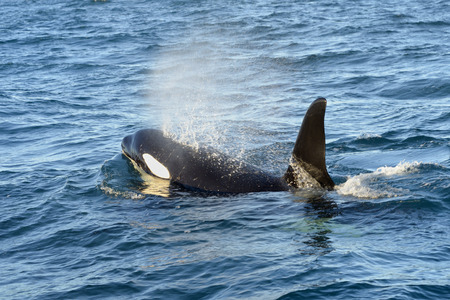 iceland: Killer whale coming up breathing  Stock Photo