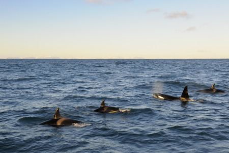 Four Killer whales coming up out of the water  Stock Photo