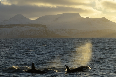 Killer Whales breathing in front of Icelandic coast at sunset