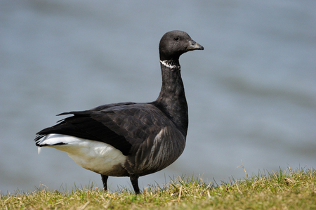 brent: Portrait from a Brent Goose.