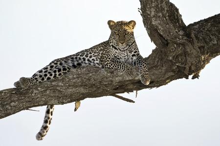 panthera pardus: Leopard lying in tree