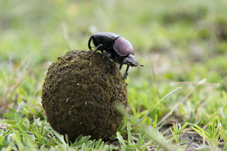 droppings: Dung Beetle on top of a ball of droppings