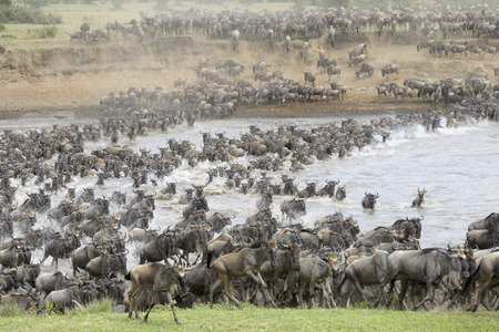 Wildebeests crossing the Mara river