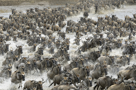 wiped out: Wildebeests crossing the Mara river