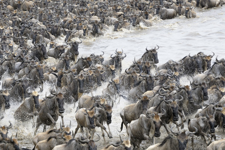 ungulates: Wildebeests crossing the Mara river