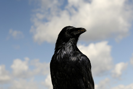 Common Raven portrait photo