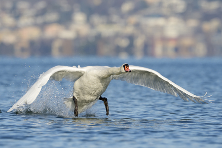 mute swan: Mute Swan taking of, with village in background  Stock Photo