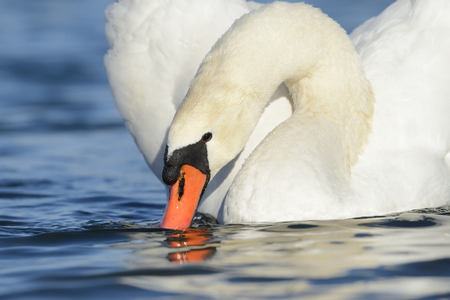 mute swan: Mute swan foraging in water, Stock Photo