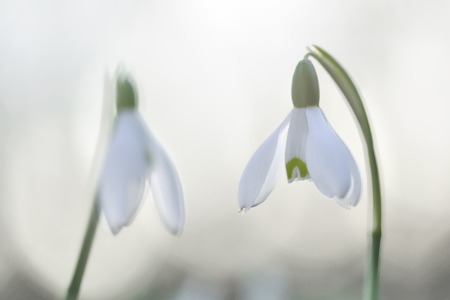 Common snowdrop with back light and soft focus  photo