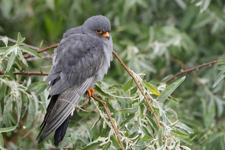 perched: Red-footed Falcon  Falco vespertinus  perched in a shrub