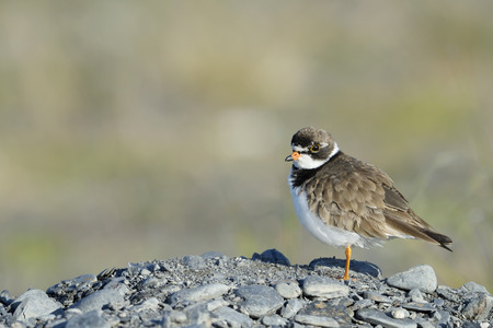 Common Ringed Plover  Charadrius hiaticula  on pebbles