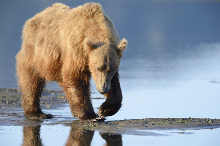 brown bear: Grizzly Bear   Ursus arctos horribilis  searching for clams Stock Photo