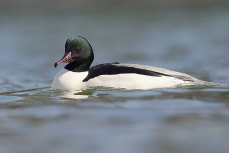 wintering: Common Merganser swimming in water  Stock Photo