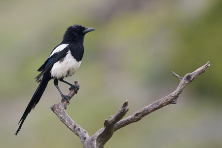 Magpie perched on a branch  photo