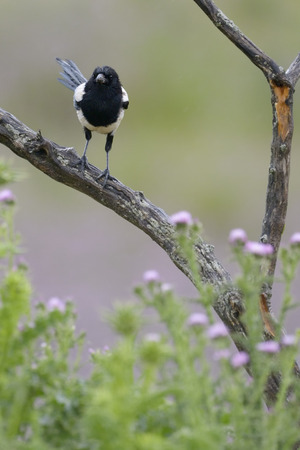 pica: Magpie perched on a branch with flowers in foreground