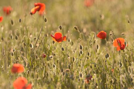 luminous: Poppy field with back light.