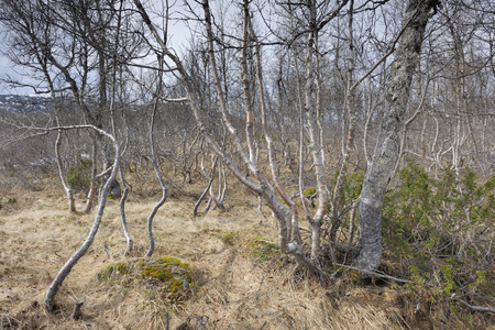 betula pendula: View on a forest with berches.