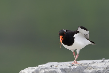 gaurd: Oystercatcher screaming and standing on rock. Stock Photo