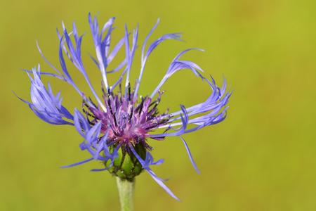 centaurea: Mountain bluet ( Centaurea montana) close-up. Stock Photo